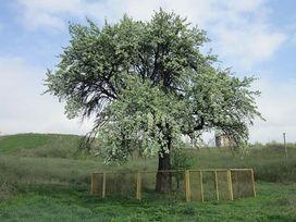 Тарасова груша, г.Запорожье poster image